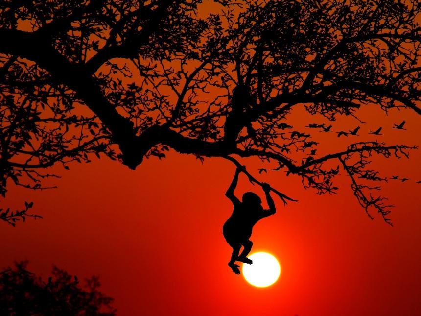 Apa i ett träd.