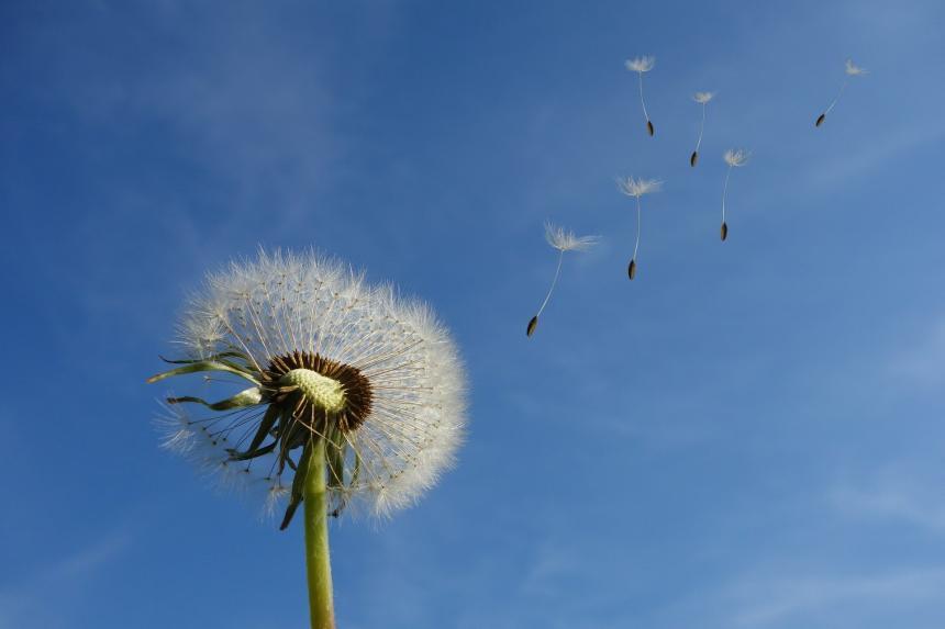 Vinden tar tag i maskros fröna.